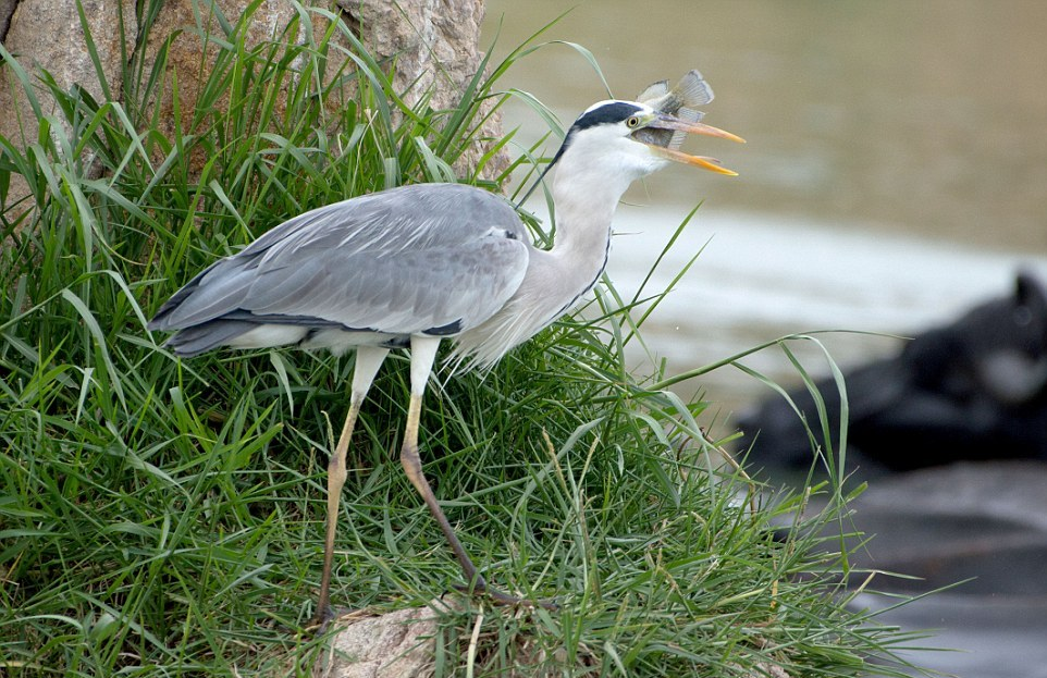 like-the-heron-with-the-snake-fish-shared-08