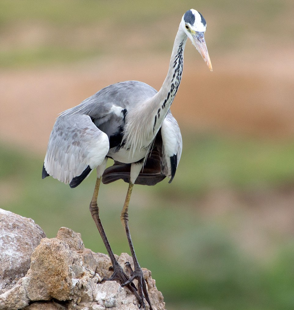like-the-heron-with-the-snake-fish-shared-11