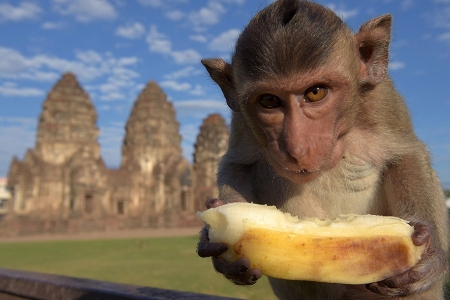 monkey-buffet-festival-a-feast-for-the-monkeys-10