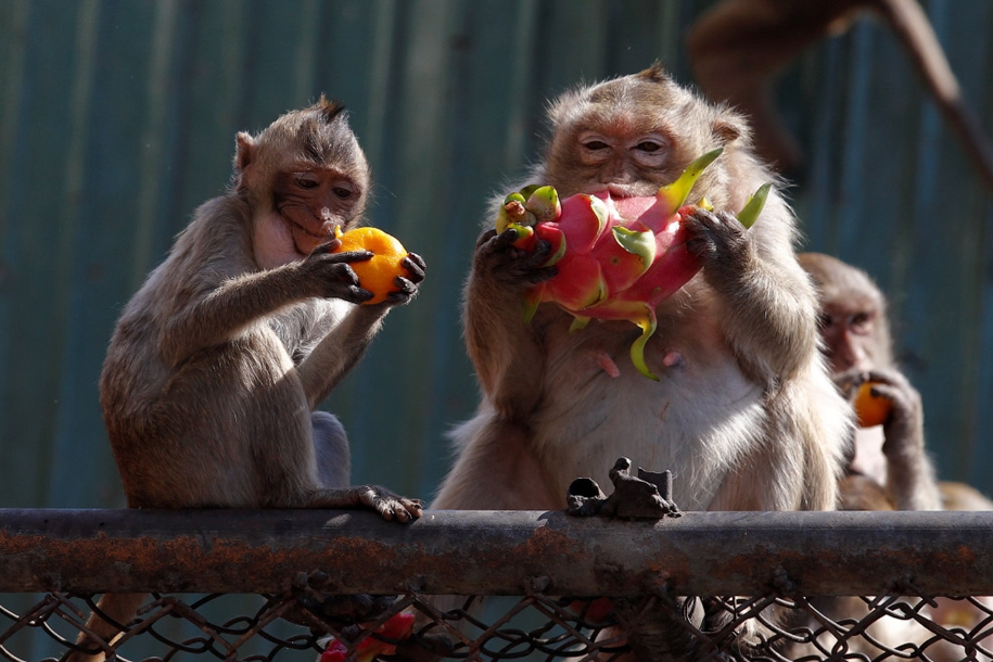 monkey-buffet-festival-a-feast-for-the-monkeys-21