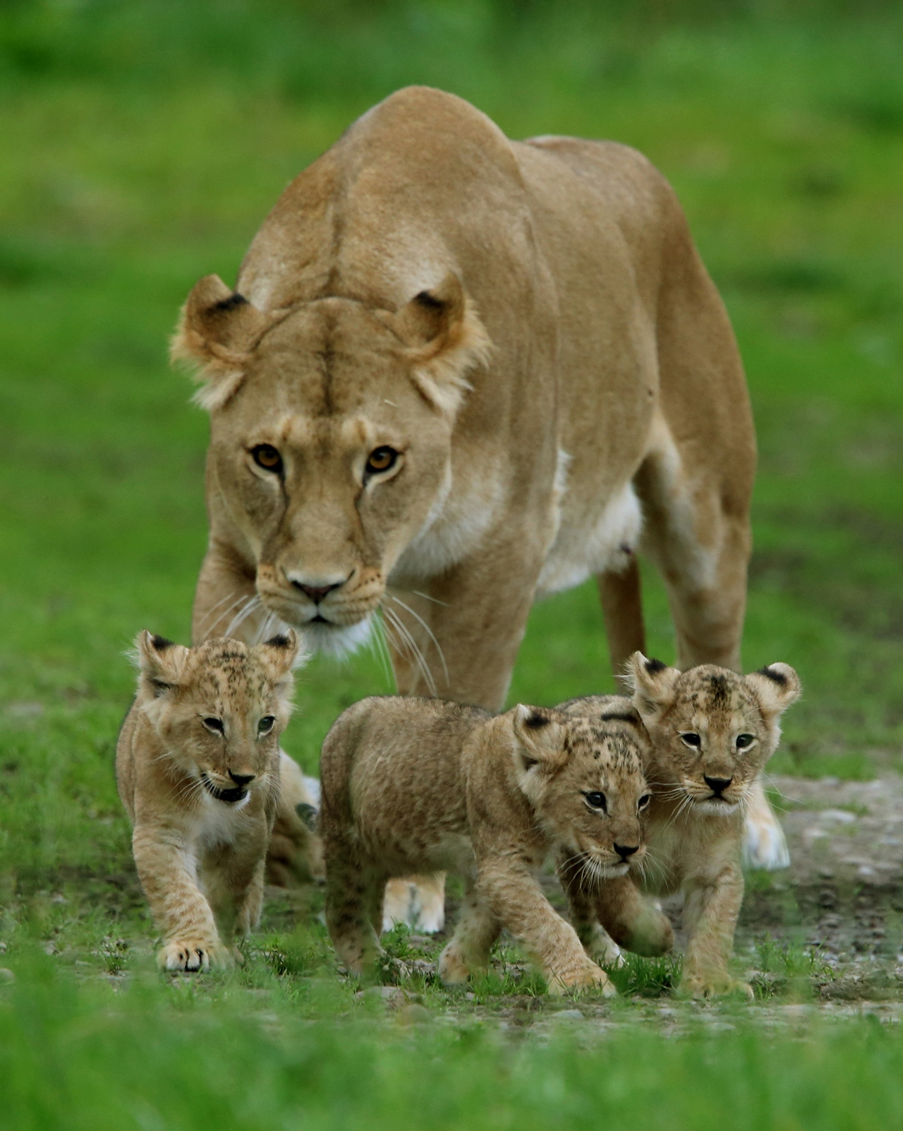newborn-kings-of-beasts-05