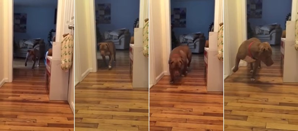 pitbull-sneaks-on-tiptoe-because-hes-afraid-to-wake-the-sleeping-cat-00