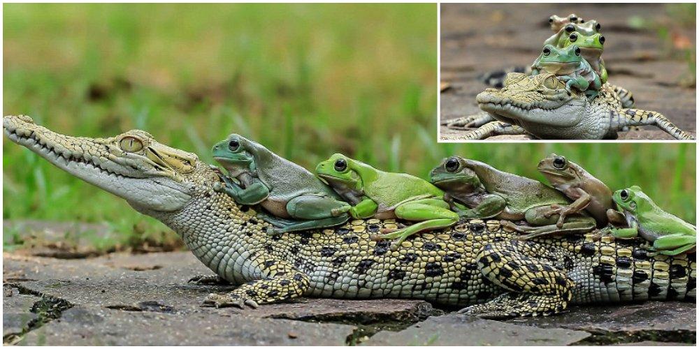 Лягушки верхом на крокодиле
