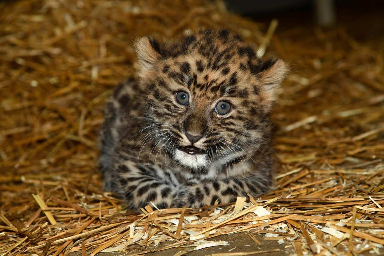 the-brookfield-zoo-was-presented-to-the-public-a-rare-baby-amur-leopard-01