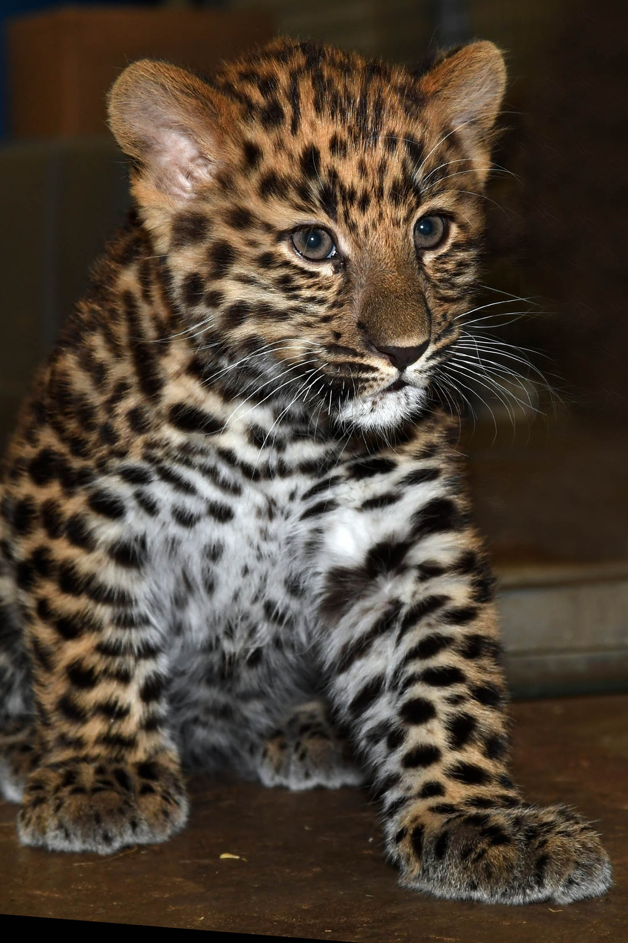 the-brookfield-zoo-was-presented-to-the-public-a-rare-baby-amur-leopard-02
