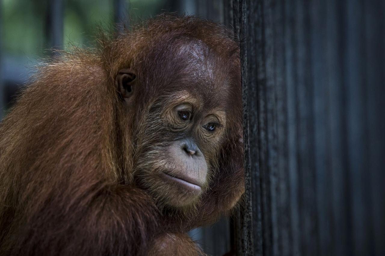 Центр по реабилитации орангутангов в Индонезии