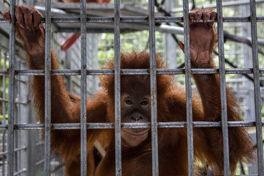 the-rehabilitation-centre-for-orangutans-in-indonesia-03