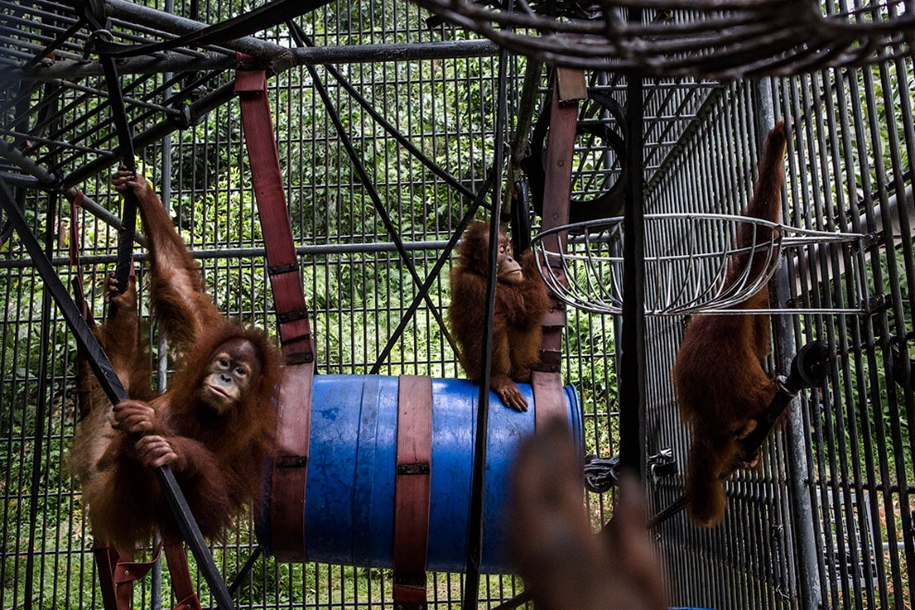 the-rehabilitation-centre-for-orangutans-in-indonesia-04
