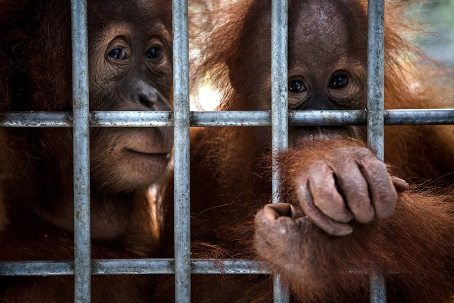 the-rehabilitation-centre-for-orangutans-in-indonesia-06