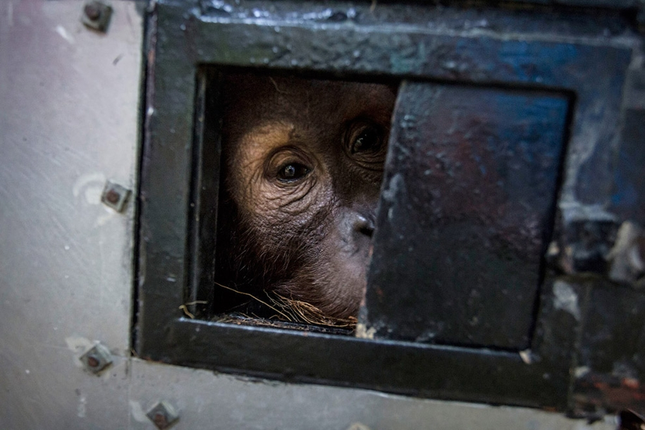 the-rehabilitation-centre-for-orangutans-in-indonesia-14