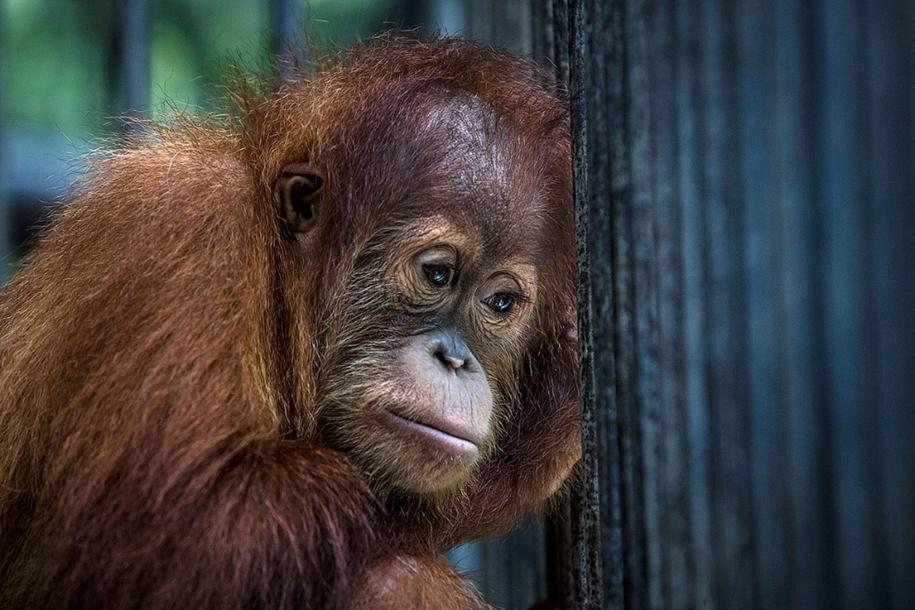 the-rehabilitation-centre-for-orangutans-in-indonesia-22