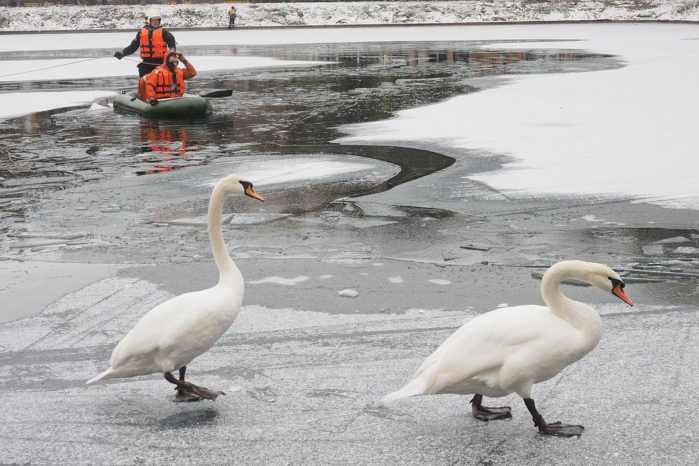 Сотрудники МЧС Москвы спасли двух лебедей и утят из замерзающих прудов