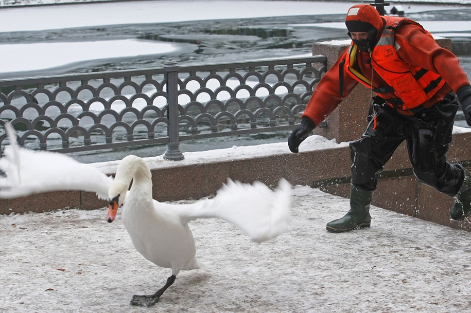 the-staff-of-the-ministry-of-moscow-rescued-two-swans-and-ducks-from-frozen-ponds-03