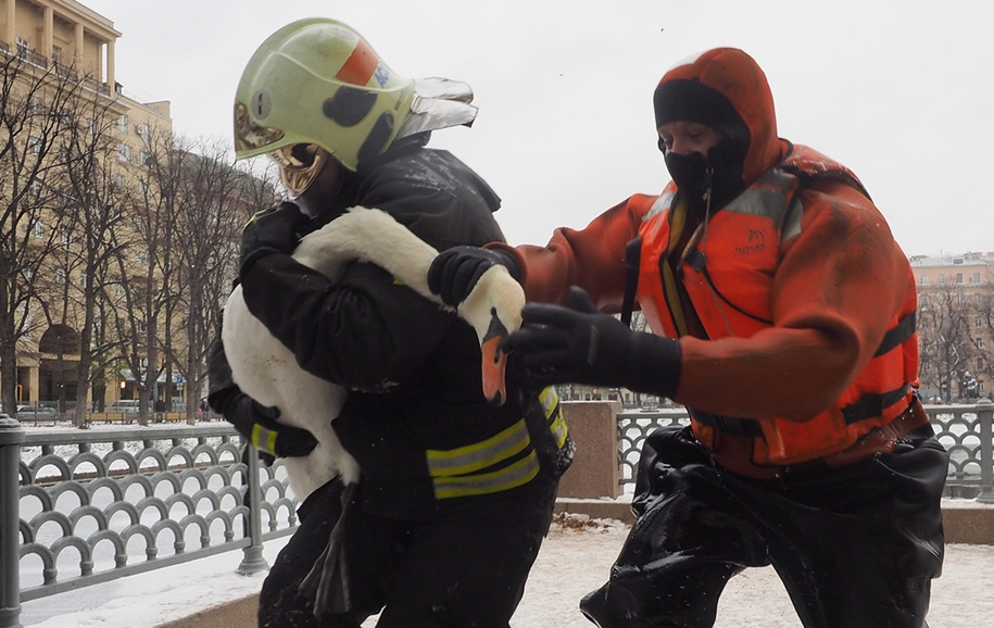 the-staff-of-the-ministry-of-moscow-rescued-two-swans-and-ducks-from-frozen-ponds-04