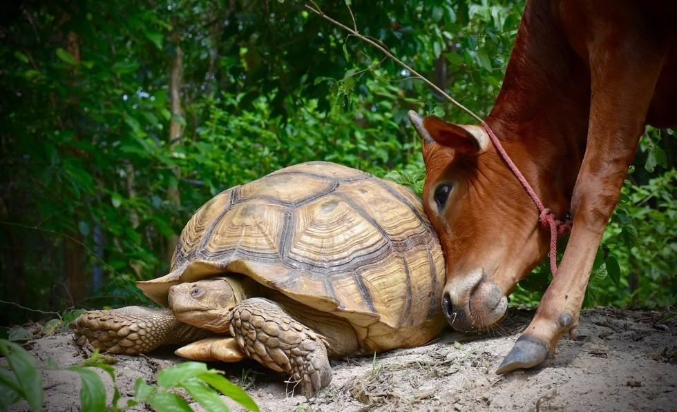 Необычная дружба гигантской черепахи и теленка с протезом