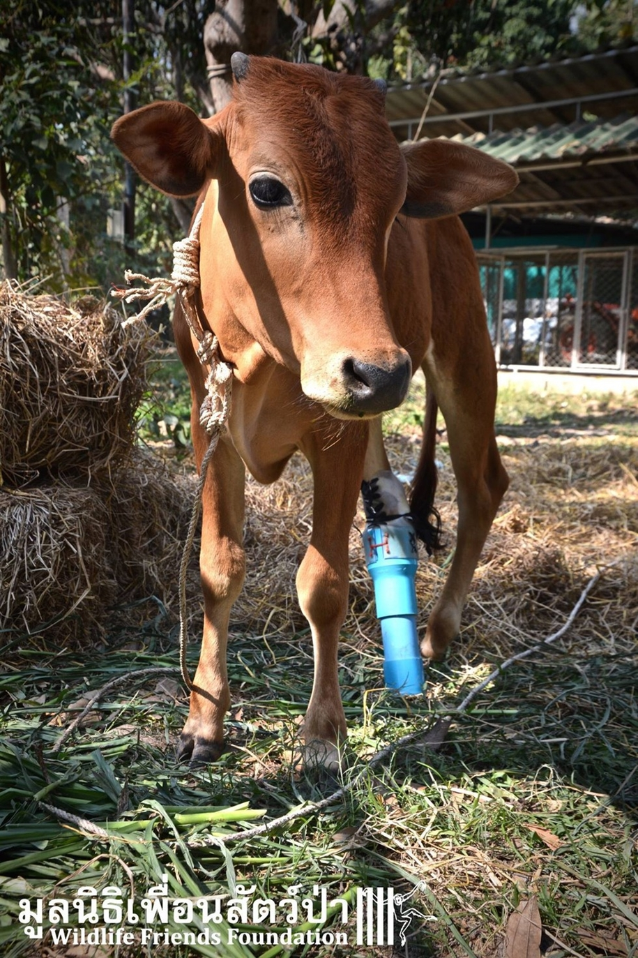 unusual-friendship-of-a-giant-turtle-and-calf-with-prosthesis-02