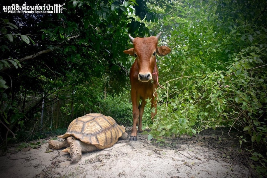 unusual-friendship-of-a-giant-turtle-and-calf-with-prosthesis-04