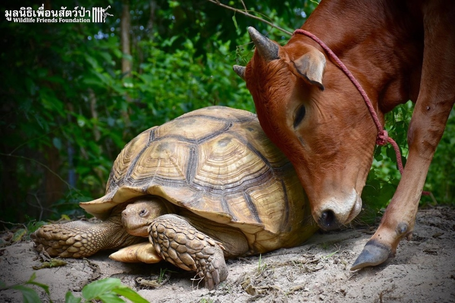 unusual-friendship-of-a-giant-turtle-and-calf-with-prosthesis-05