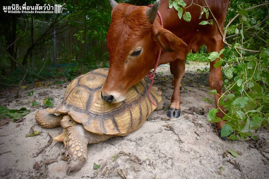 unusual-friendship-of-a-giant-turtle-and-calf-with-prosthesis-06