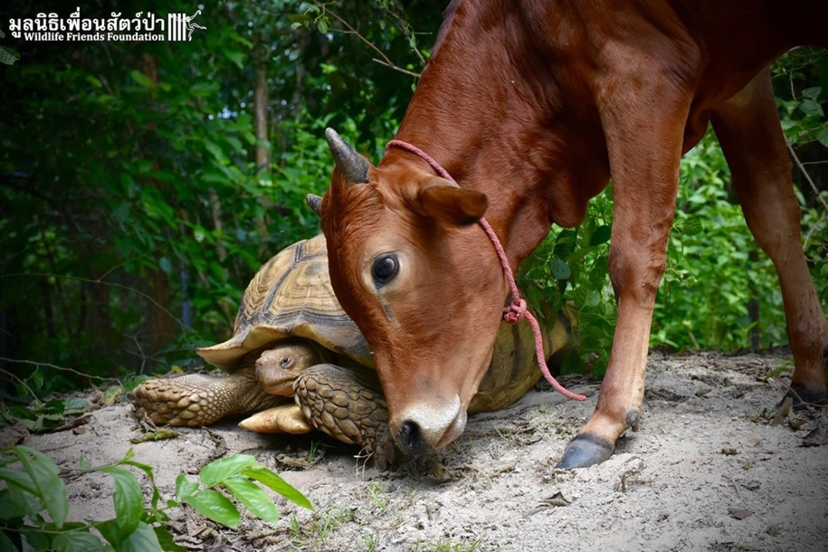 unusual-friendship-of-a-giant-turtle-and-calf-with-prosthesis-07