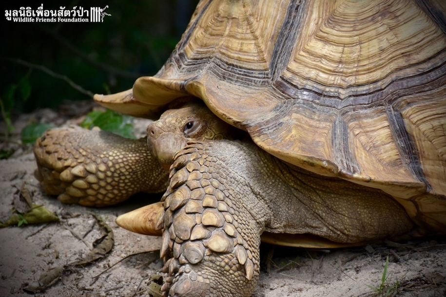 unusual-friendship-of-a-giant-turtle-and-calf-with-prosthesis-08