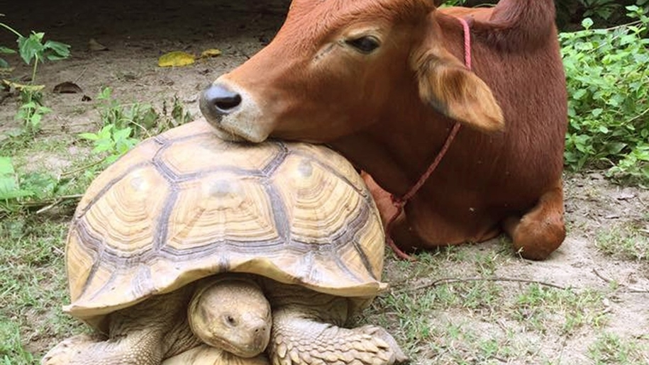 unusual-friendship-of-a-giant-turtle-and-calf-with-prosthesis-09
