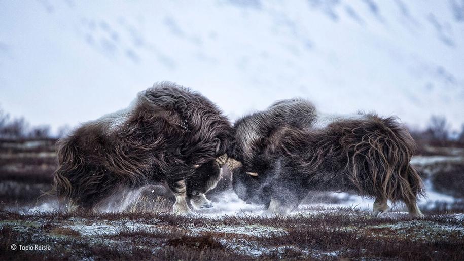 wildlife-photographer-year-2016-05