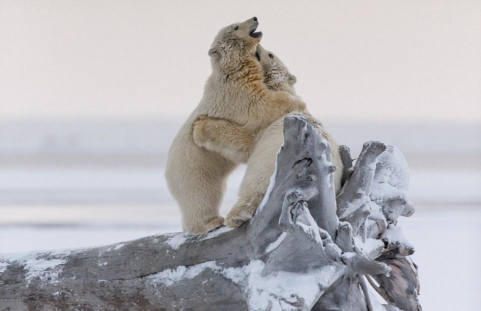 Шуточная схватка белых медвежат за необычный трофей