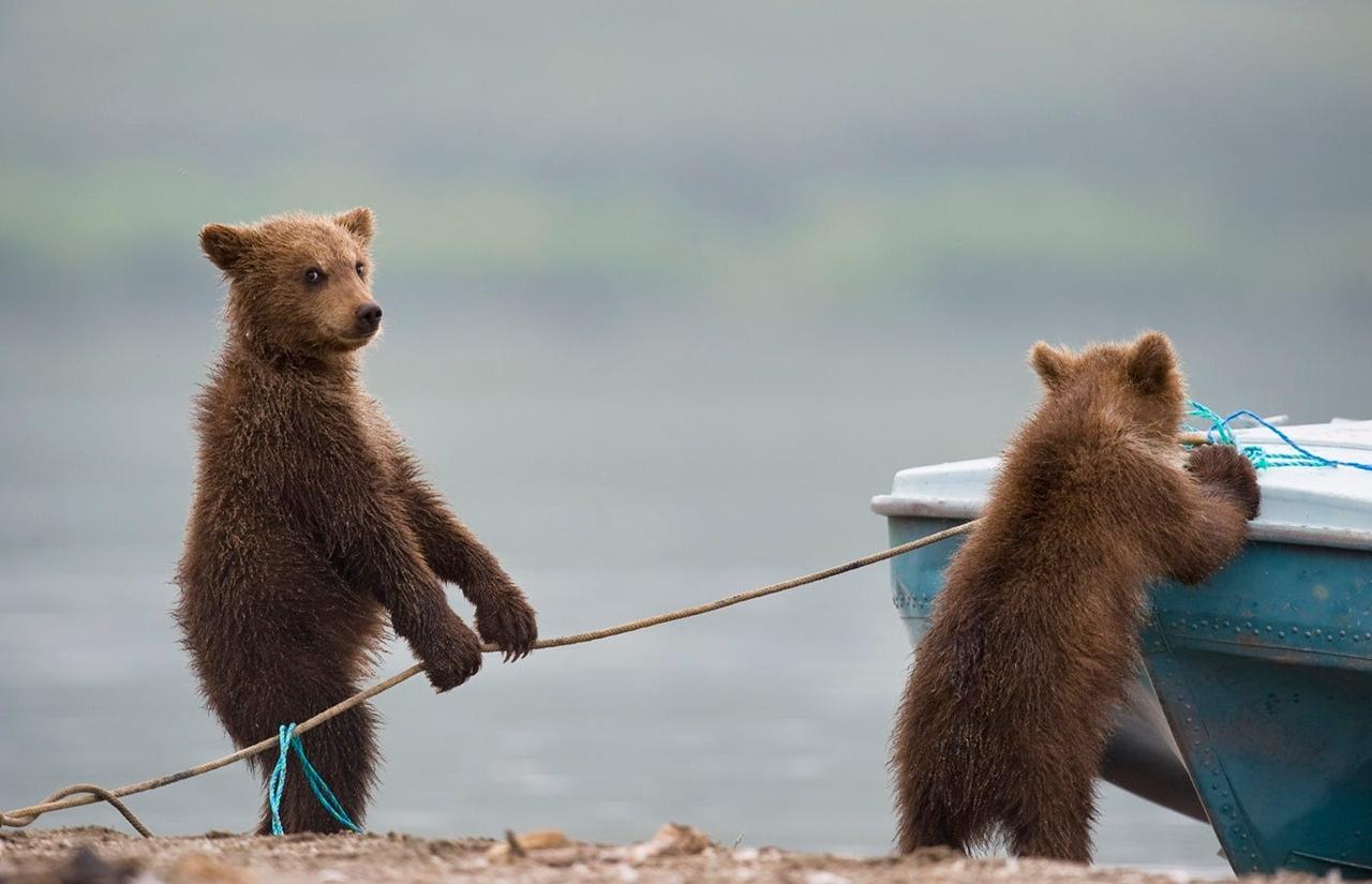 Суровые, но обаятельные мишки на снимках Сергея Иванова