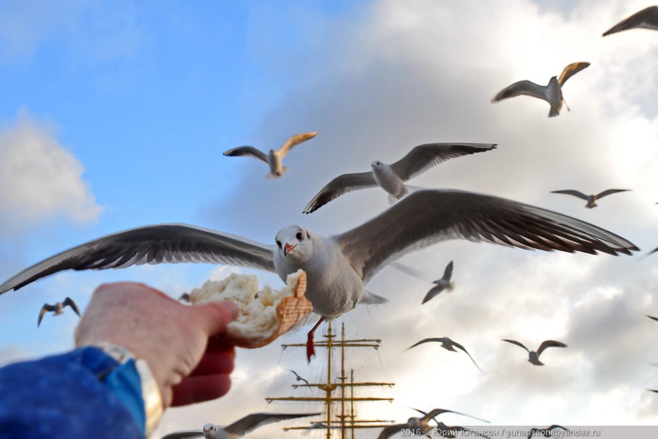 Графские чайки Севастополя