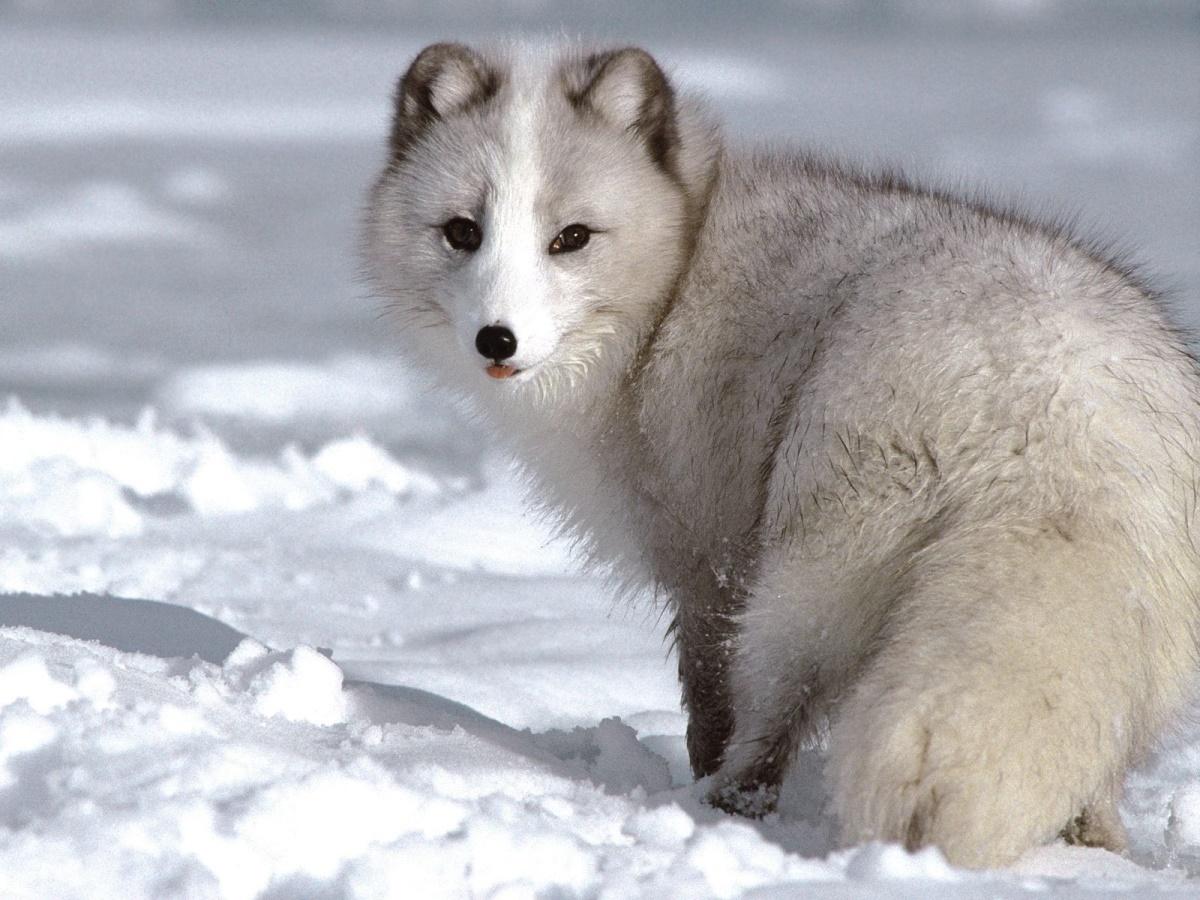 Песец или полярная лисица 171 Fotorelax