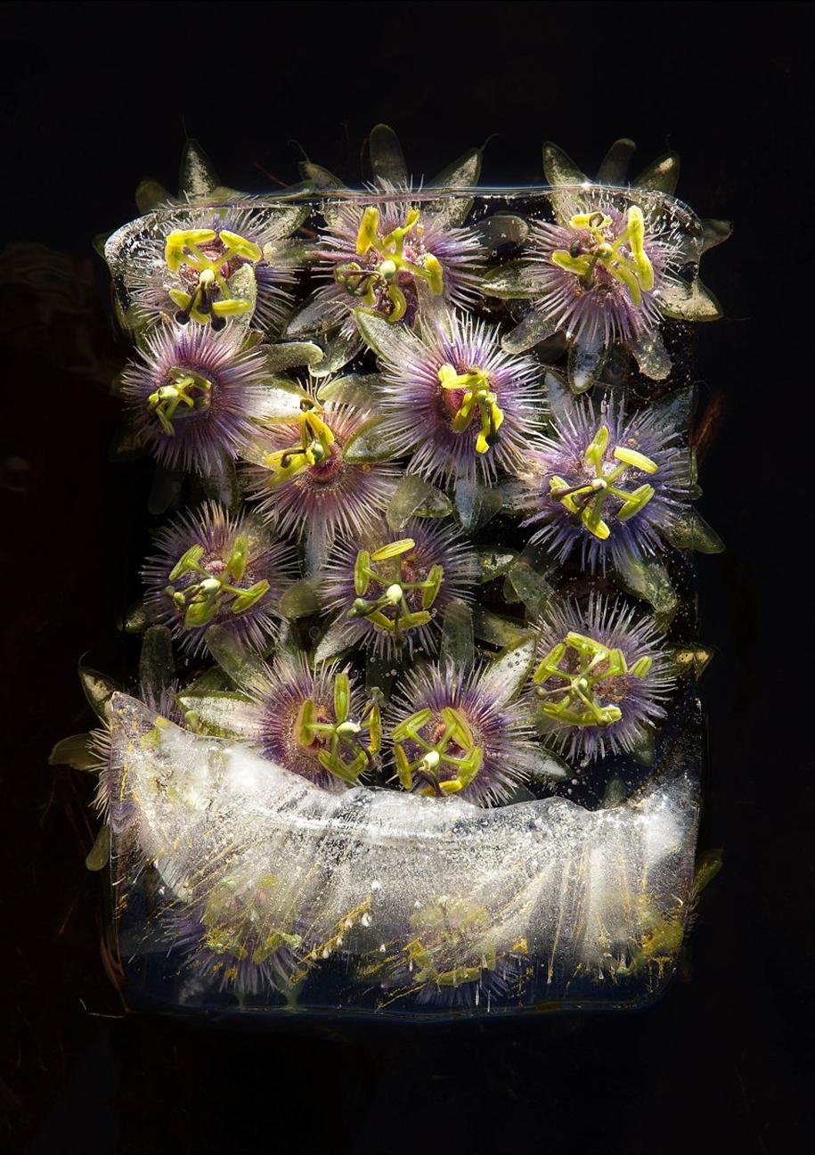 Замороженные цветы в натюрмортах Брюса Бойда