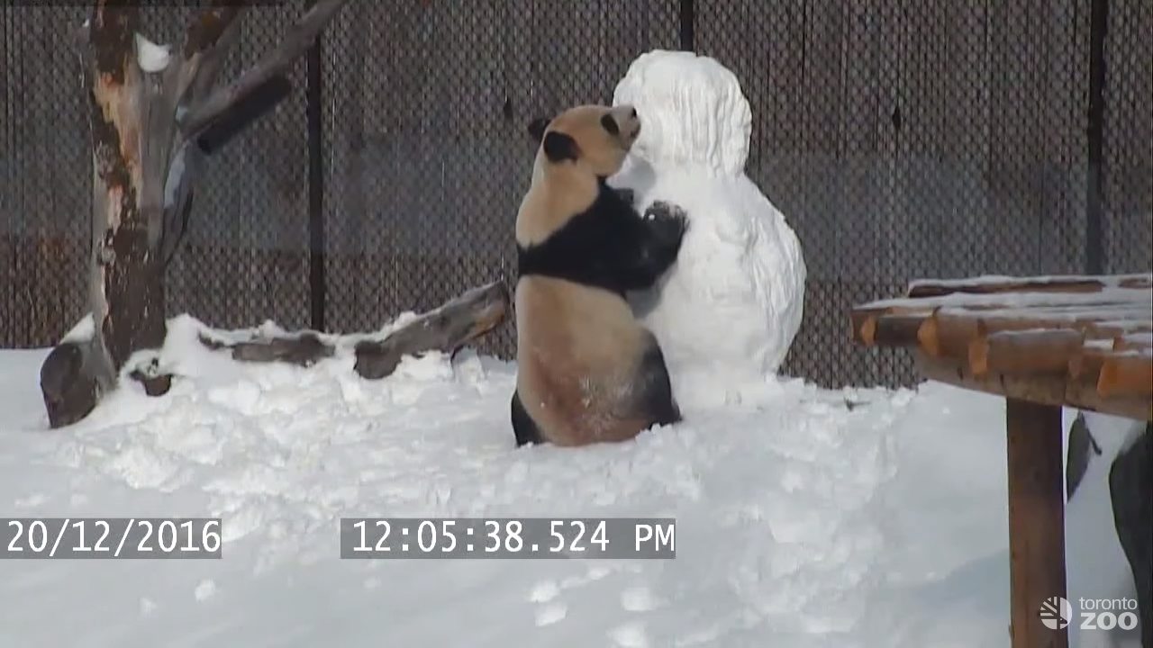 Гигантская панда против снеговика