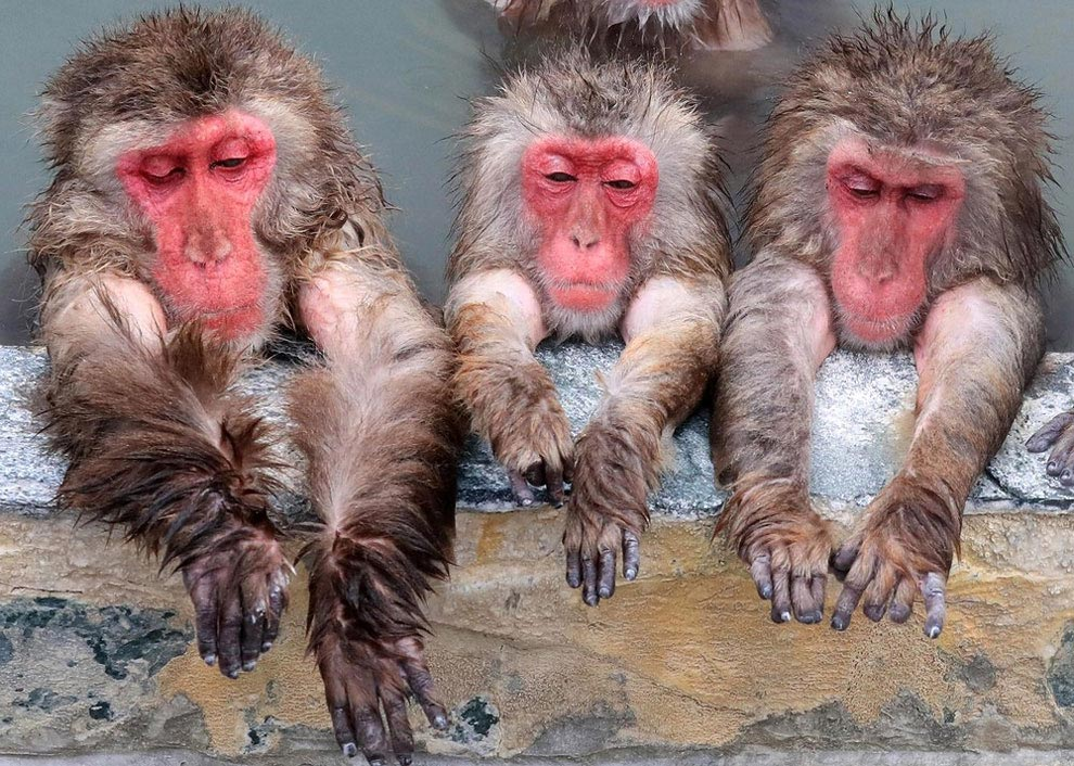 japanese-macaque-opened-the-season-bathing-in-hot-springs-01
