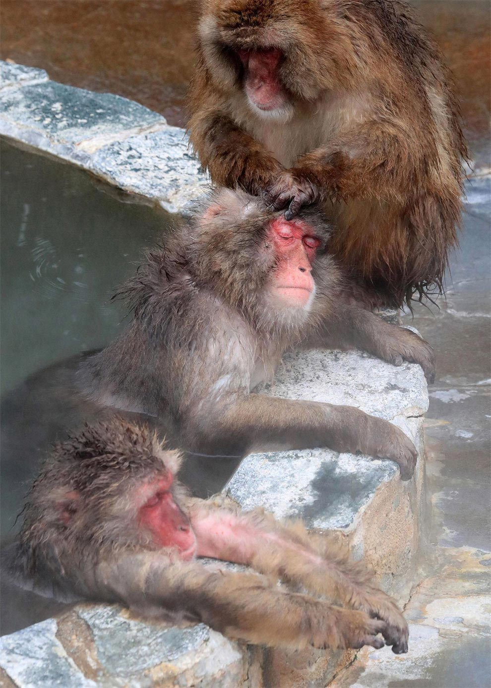 japanese-macaque-opened-the-season-bathing-in-hot-springs-06
