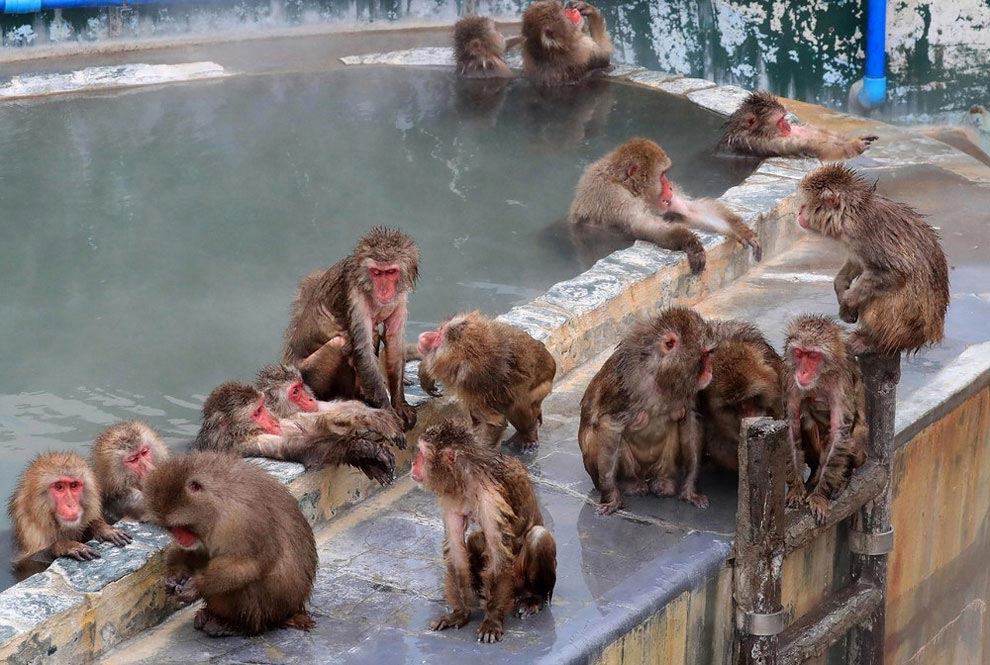 japanese-macaque-opened-the-season-bathing-in-hot-springs-07