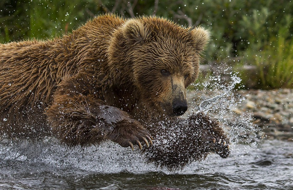 mama-bear-catches-a-salmon-to-feed-her-cubs-01