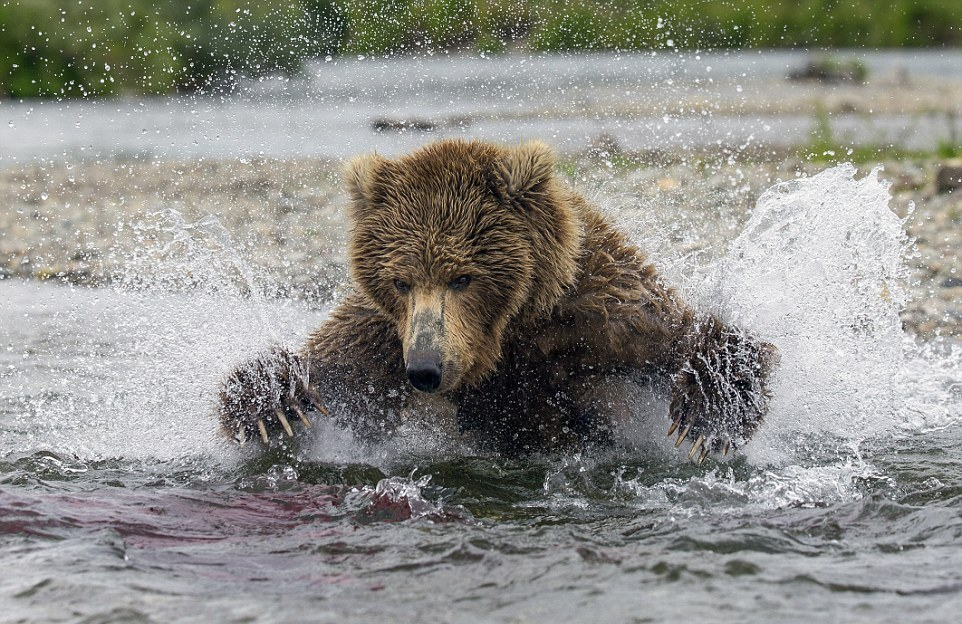 mama-bear-catches-a-salmon-to-feed-her-cubs-02