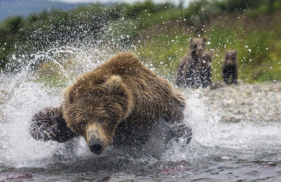 mama-bear-catches-a-salmon-to-feed-her-cubs-03