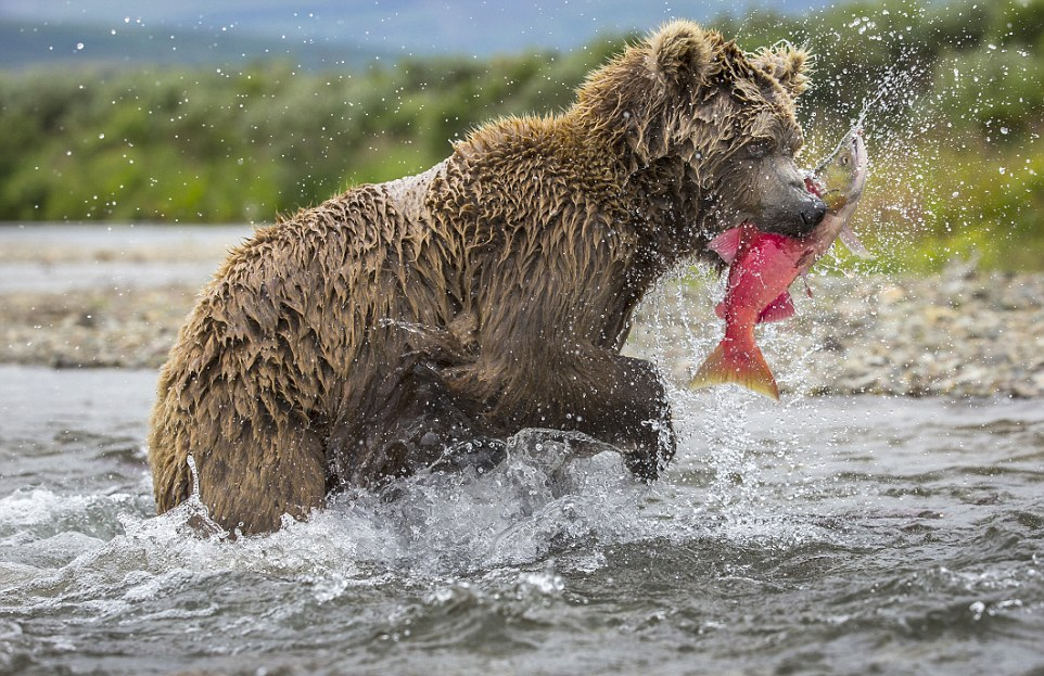 mama-bear-catches-a-salmon-to-feed-her-cubs-04