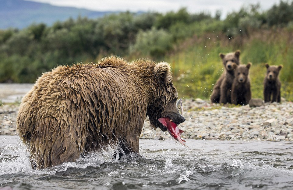 mama-bear-catches-a-salmon-to-feed-her-cubs-05