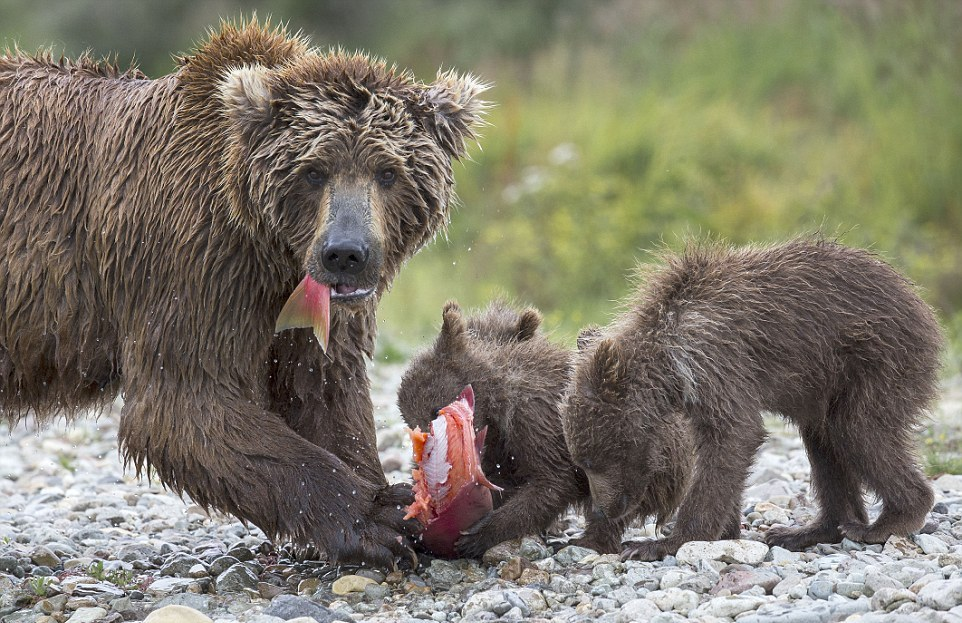 mama-bear-catches-a-salmon-to-feed-her-cubs-06