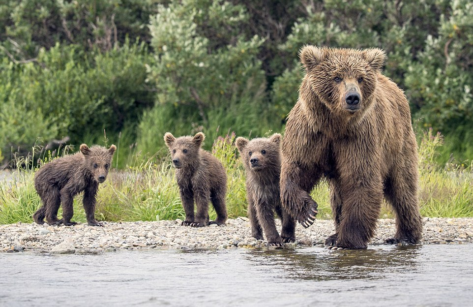 mama-bear-catches-a-salmon-to-feed-her-cubs-07
