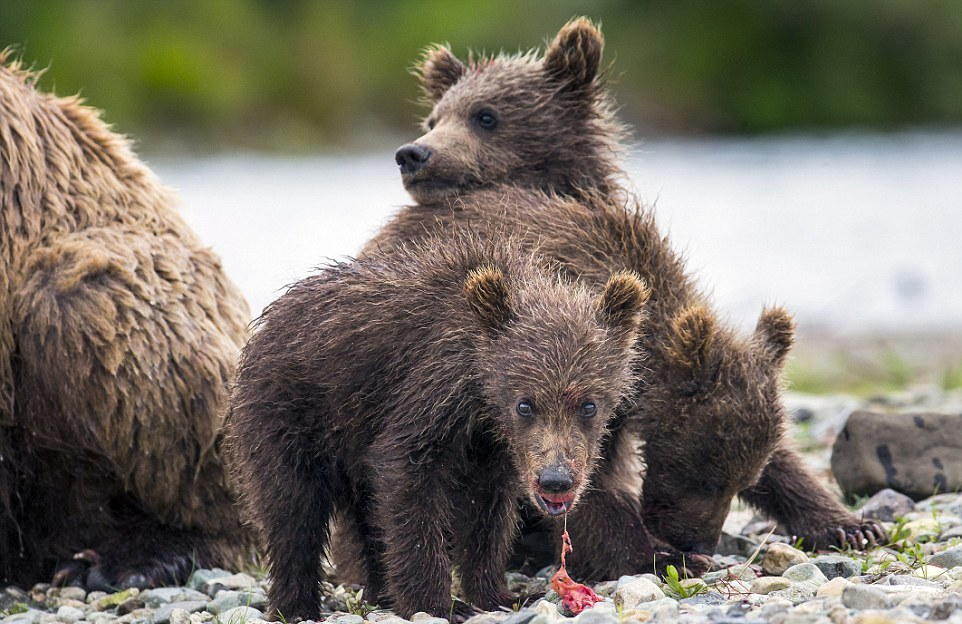 mama-bear-catches-a-salmon-to-feed-her-cubs-08