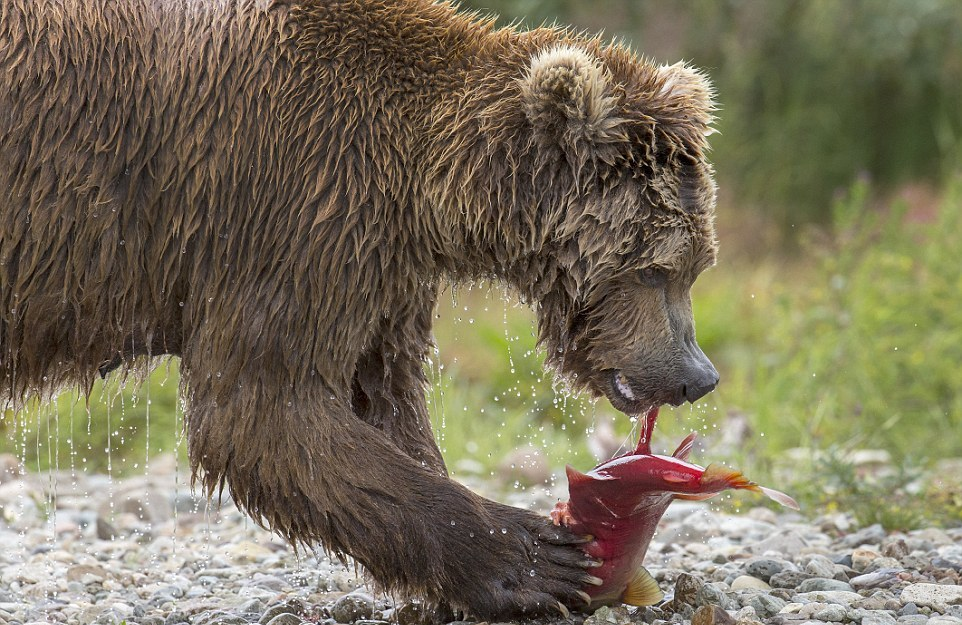 mama-bear-catches-a-salmon-to-feed-her-cubs-09