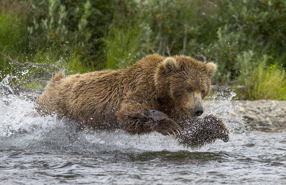 mama-bear-catches-a-salmon-to-feed-her-cubs-10