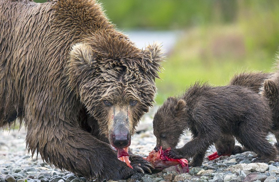 mama-bear-catches-a-salmon-to-feed-her-cubs-11