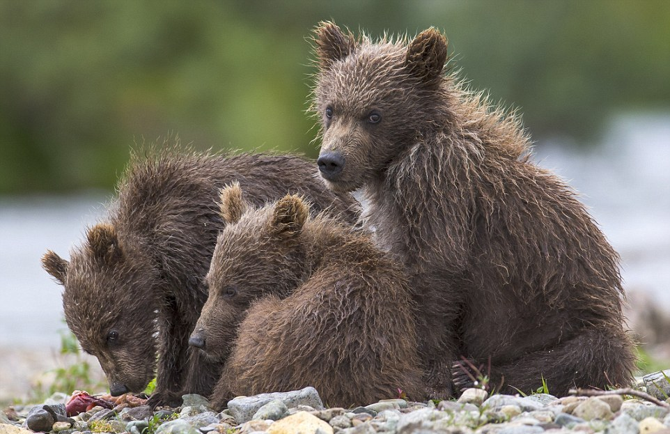 mama-bear-catches-a-salmon-to-feed-her-cubs-12