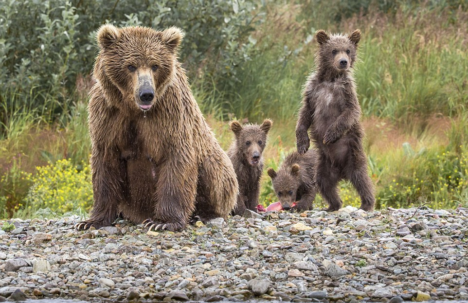 mama-bear-catches-a-salmon-to-feed-her-cubs-13