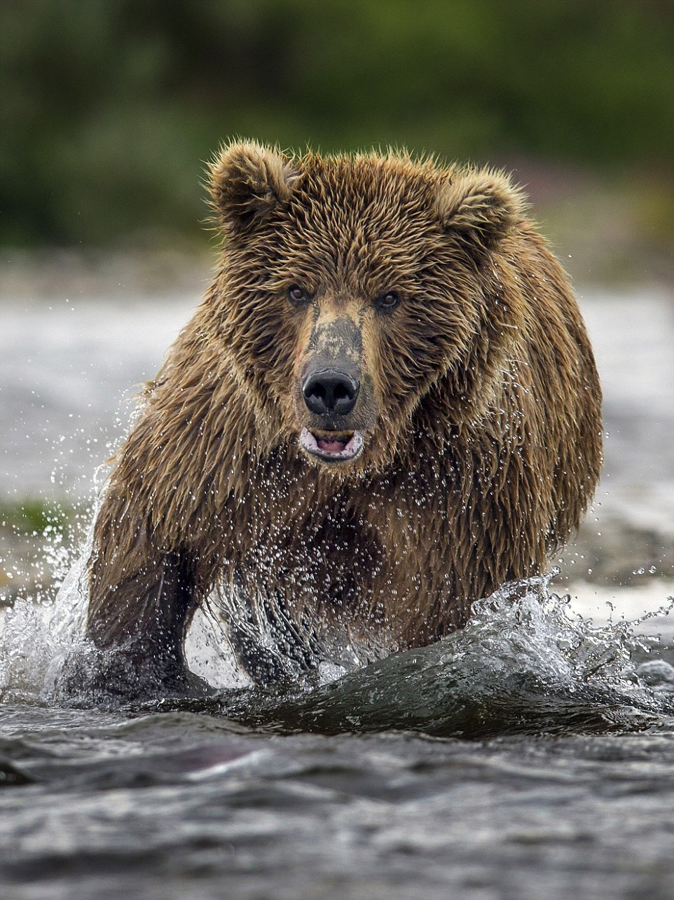 mama-bear-catches-a-salmon-to-feed-her-cubs-14